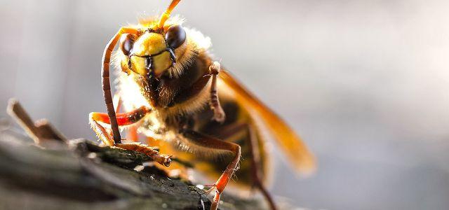 was tun bei hornissenstich