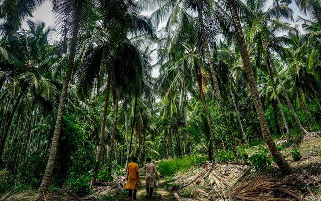 Kokospalmen-Anbau