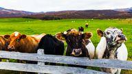 Milchkühe auf Island