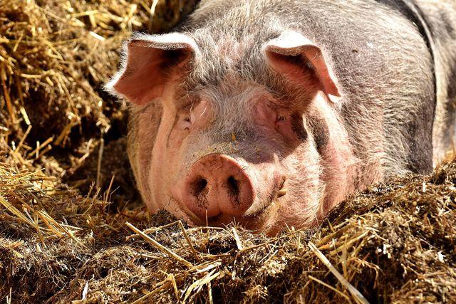 So idyllisch leben leider die wenigsten Schweine. Massentierhaltungen sind dabei nicht nur ein ethisches Problem im Sinne der Tiere, sondern auch ein echter Klimakiller.
