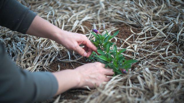 Je nach Boden eignen sich unterschiedliche Pflanzen als Gründünger.