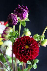 Dahlien blühen in den verschiedensten Formen und Farben.
