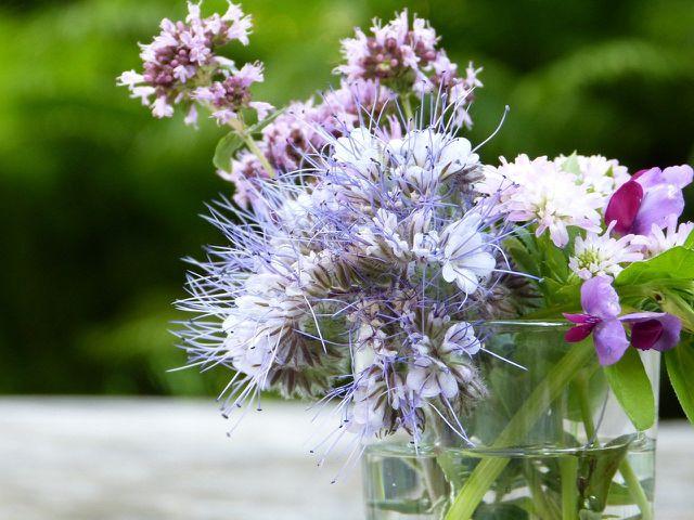 Obwohl die Phacelia auch in der Vase gut aussieht, solltest du sie möglichst im Beet lassen: als Futterquelle für Insekten.