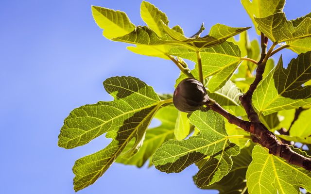 wasps and figs