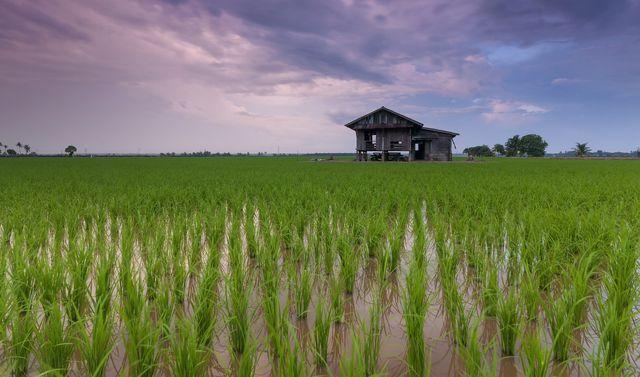 Reis zu waschen, ist wichtig, um das enthaltene Arsen zu lösen.