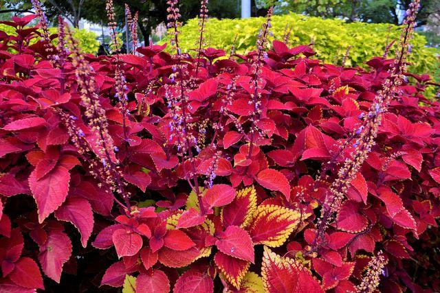 Die Blüten der Buntnesseln sind auch besonders.
