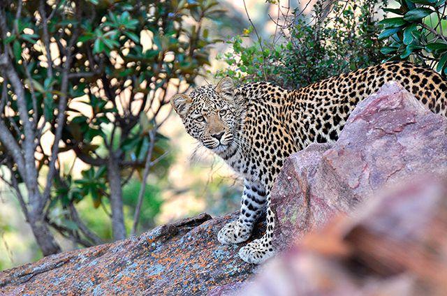 Leopard Wikinger Reisen nachhaltiger Urlaub