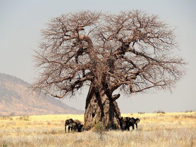 Nicht ganz unproblematisch: Baobab-Bäume sind auch bei Elefanten beliebt.