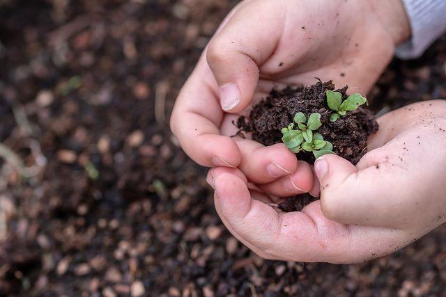 Sanddorn anpflanzen: Samen der Sanddornbeere verwenden.