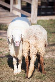 Mulesing wird hauptsächlich in Australien und Neuseeland praktiziert.