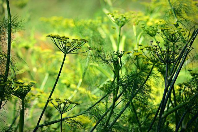 Die Samen der Anispflanze sind vielseitig anzuwenden.