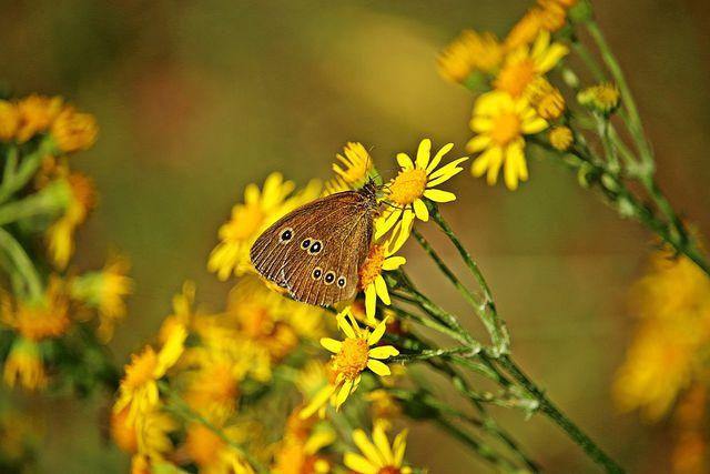 Trotz der giftigen Eigenschaften für Mensch und Tier ist Jakobskreuzkraut eine wichtige Nahrungsgrundlage für Insekten.