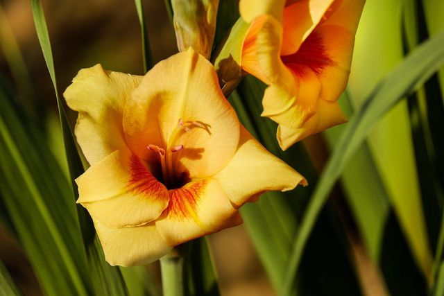 Gladiolen benötigen viel Nährstoffe für ihre großen Blüten.