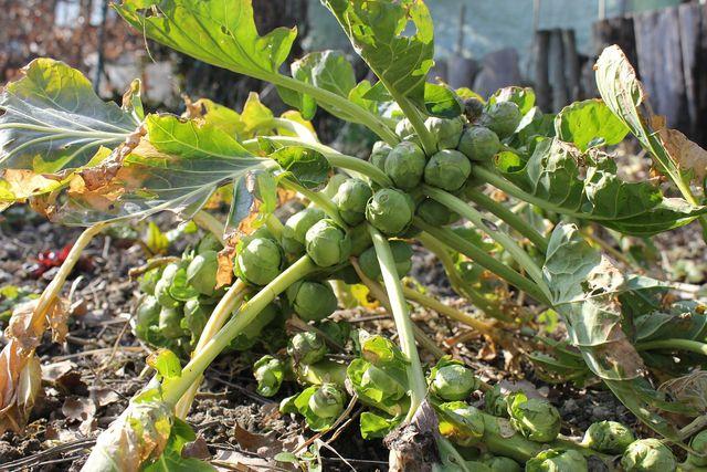 Rosenkohl wächst an einem Strunk. Die Pflanze braucht viel Platz.