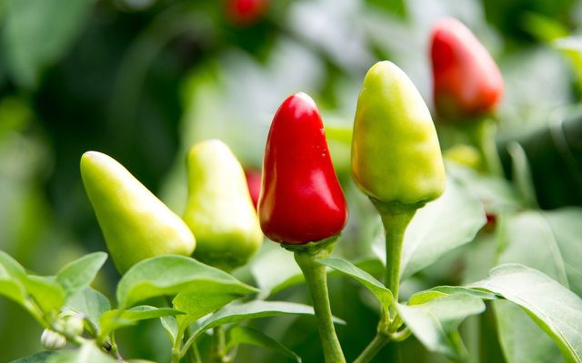 caring for chili pepper plants