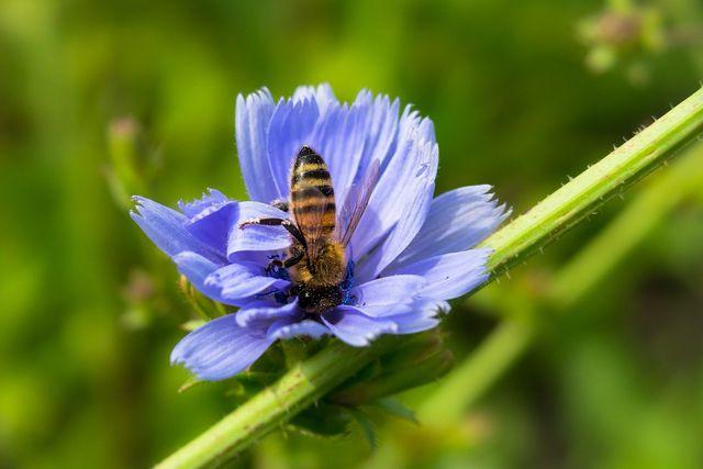 Die Wegwarte bietet ein reiches Angebot an Nektar und Pollen