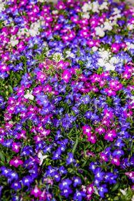 Männertreu blüht in weiß, violett und blau.