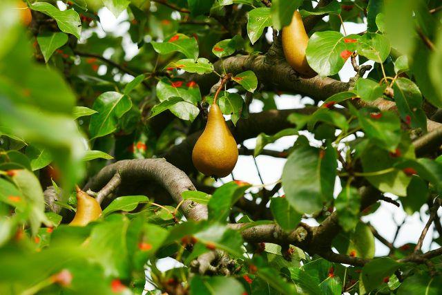 Kurz nach dem Einpflanzen solltest du deinen Birnbaum das erste Mal schneiden.