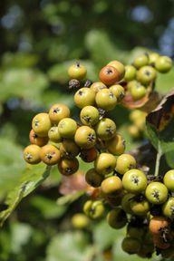 Die Früchte der Elsbeere sind anfangs grün.