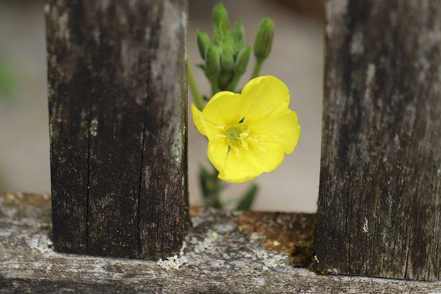 Die Nachtkerze ist eine zweijährige Pflanze.