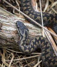 Kreuzottern gehören zu den heimischen Giftschlangen.