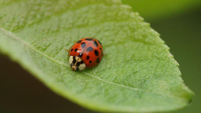 Marienkäfer fressen nicht nur Blattläuse, sondern auch Mehltau