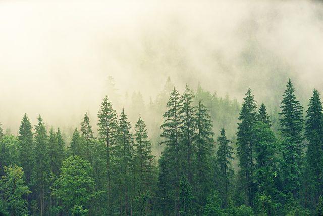 In Deutschland gibt es viele künstlich angelegte Fichtenwälder.