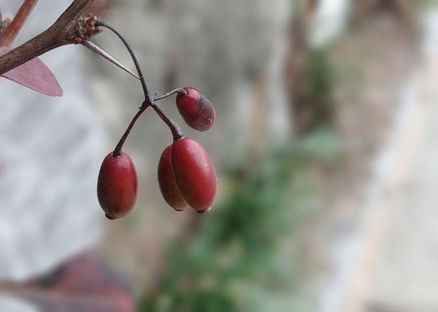 Baust du deine eigene Schisandrapflanze an, kannst du jeden Herbst deine eigenen Beeren ernten.