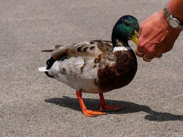 Wenn du Enten regelmäßig fütterst, verlieren sie ihre Scheu vor dem Menschen.