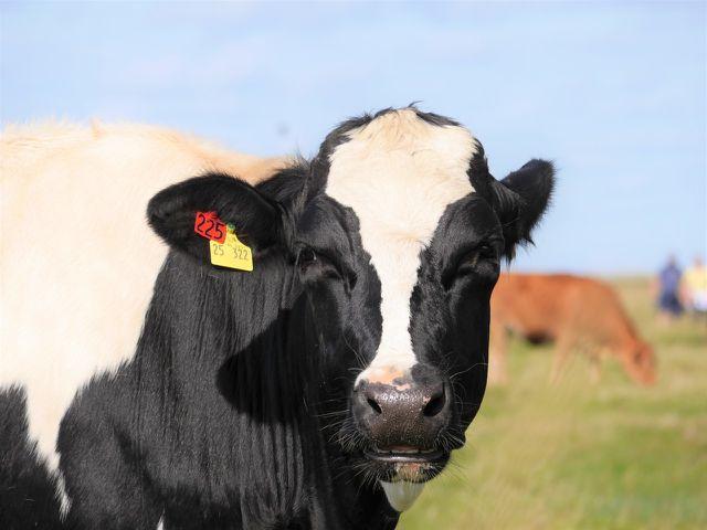 """""""Zeit zu zweit""""-Siegel für eine gemeinsame Aufzucht von Kalb und Kuh"""