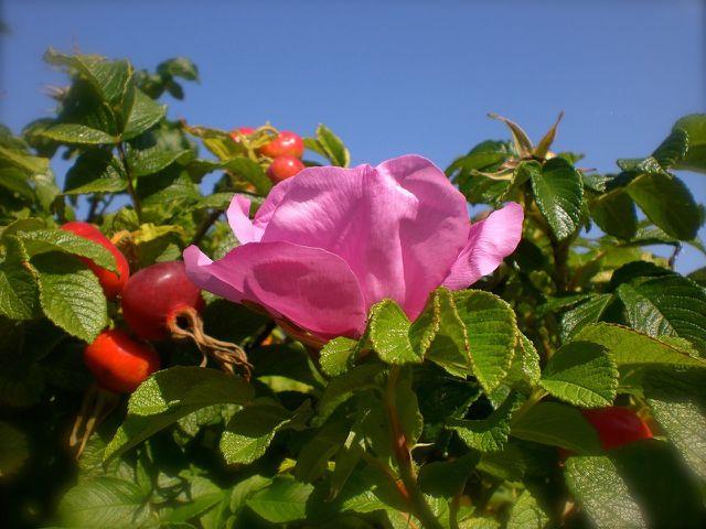 Im Herbst wachsen aus den Blüten die Früchte der Essigrose.