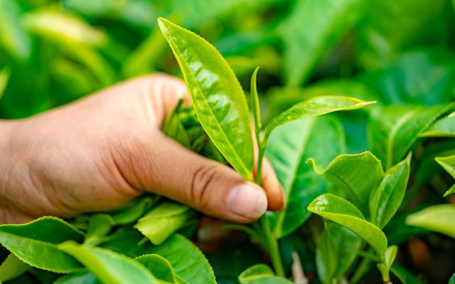 Yellow tea plants leaves