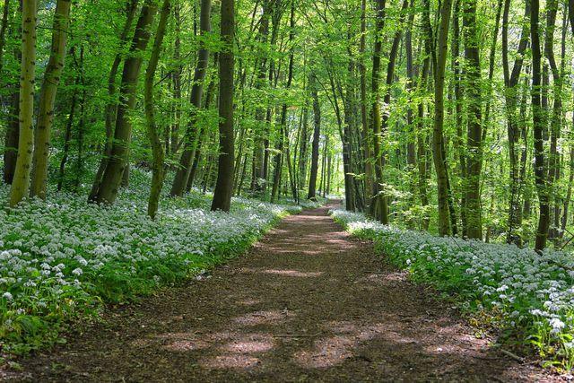 Wunderlauch wächst, wie Bärlauch auch, in Wäldern.