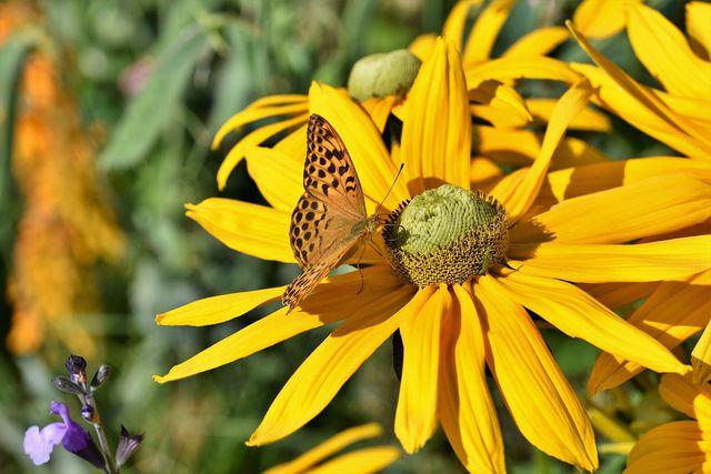 Für Bienen und Schmetterlinge ist der Sonnenhut ein wichtiger Nahrungslieferant.