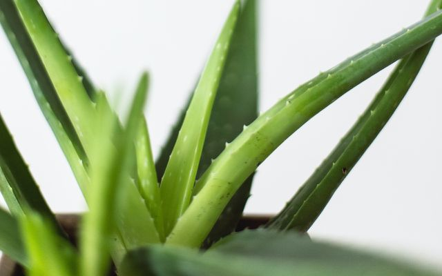 aloe vera natural home remedies for sunburn