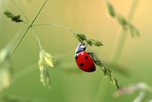 Marienkäfer suchen sich im Herbst eine sichere Überwinterungsmöglichkeit.