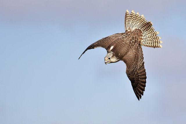 Birdwatch: Den Flug des Falken beobachten.