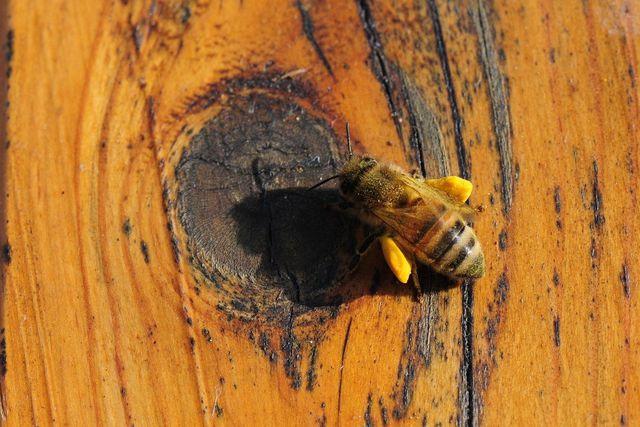 Bienen sammeln Blütenstaub und reichern ihn an - so entstehen Blütenpollen.