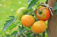Tomaten aus eigenem Anbau – es gibt nichts schmackhafteres!