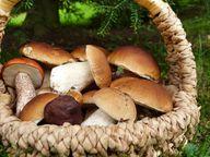 Pilze sammeln: Bitte nur mit entsprechender Kenntnis.