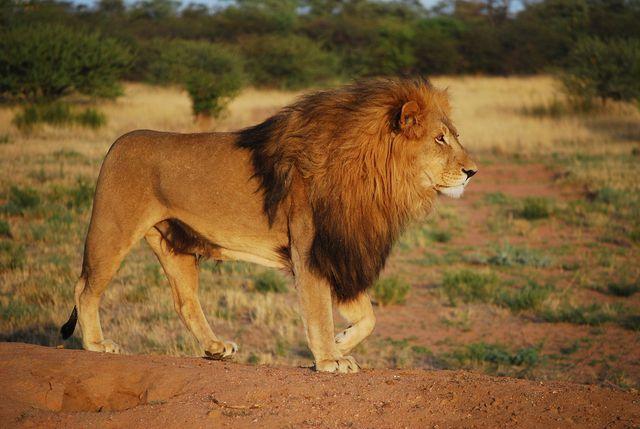 Auch der Löwe könnte blad vom Aussterben bedroht sein.