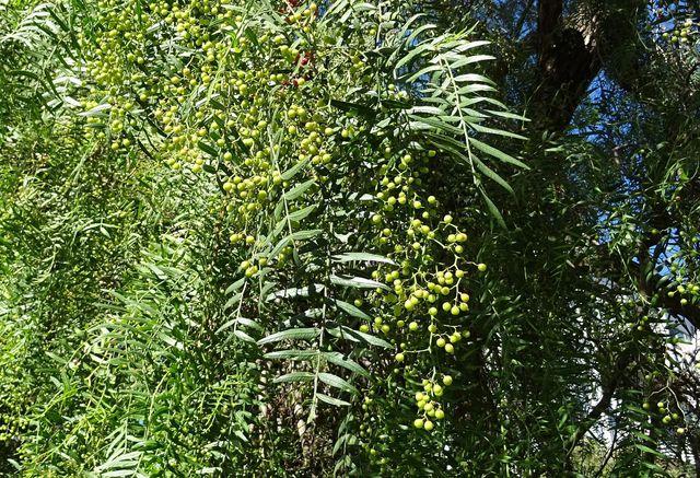 Alle Pfeffersorten stammen von derselben Pflanze.