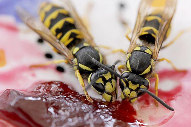 Nur zwei von 16 heimischen Wespenarten können uns beim Essen lästig werden.