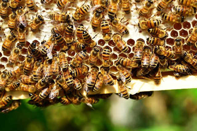 Robinien sind bei Bienen beliebt.