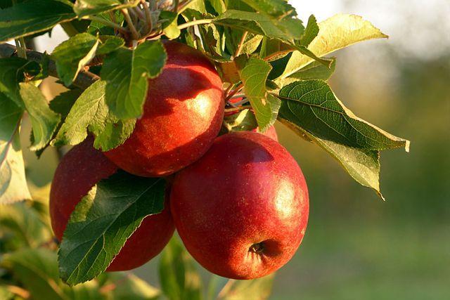 Leider lässt es sich oft nicht vermeiden, Apfelschorf mit Fungiziden zu bekämpfen.