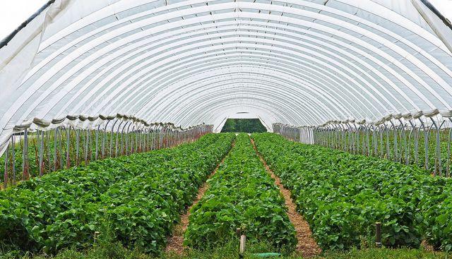Vor allem in Spanien werden Erdbeeren is großem Stil angebaut.