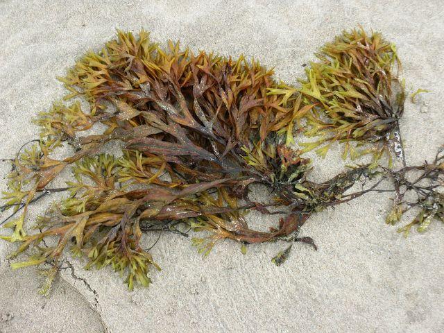 Algen wie Irish Moss enthalten oft sehr viel Jod.