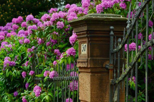 Wenn dein Rhododendron zu groß wird, musst du ihn umpflanzen.