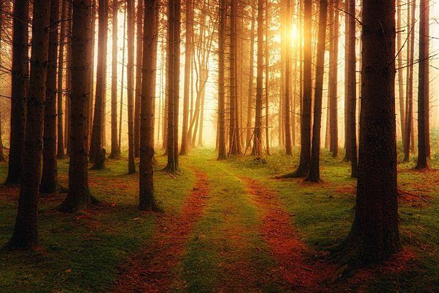In Deutschland gibt es viele künstlich aufgeforstete Nadelwälder.