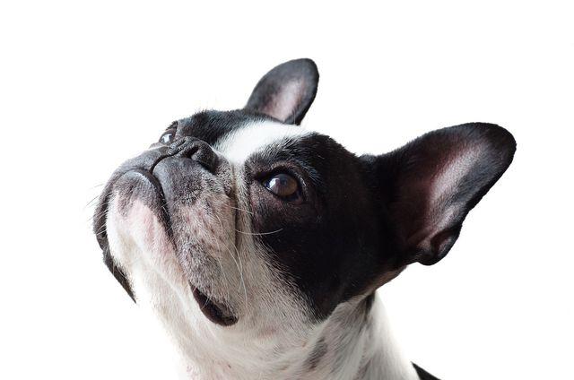 Bulldogge mit verkürzter Schnauze sind Ergebnisse von Qualzucht.